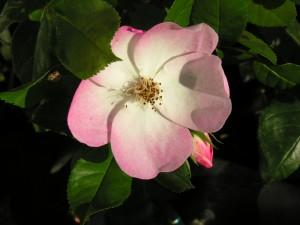 rose à cinq pétales