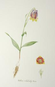 Fritillaria michailovskyi Fomine