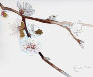 branche d'abricotier