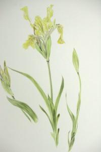 Un très bel iris qui fane un peu trop vite à mon goût