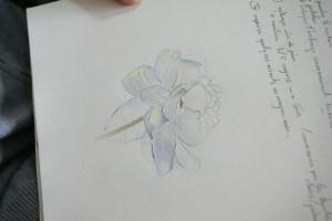 Une pivoine blanche aux crayons de couleur