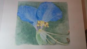 Une petite fleur appelée Comelina