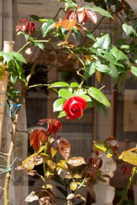 rosier rouge