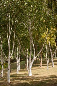 Les bouleaux du jardin de Bois Marquis
